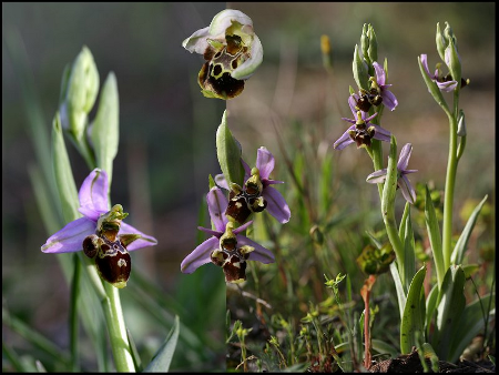 ophrys16